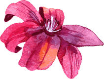 Watercolor drawing lily flower Royalty Free Stock Photos