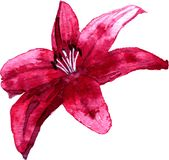 Watercolor drawing lily flower Stock Photo