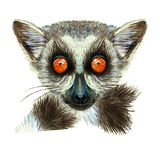 Watercolor drawing of mammal animal of lemur with large orange eyes with hair and tail, portrait of lemur, on white background fo. R decor, print and decorations Royalty Free Stock Images