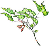 Watercolor drawing maple twig Stock Photo