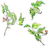 Watercolor drawing maple twigs Royalty Free Stock Photos