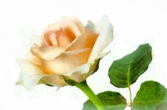 Watercolor drawing pale pink rose stock images