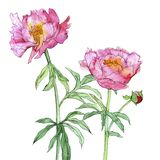 Watercolor drawing pink peony flowers. Isolated at white background, hand drawn illustration royalty free stock image
