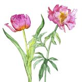 Watercolor drawing pink peony flowers. Watercolor drawing pink peony and tulip flowers isolated at white background, hand drawn illustration royalty free stock photo