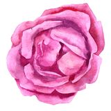 Watercolor drawing pink rose Stock Photos