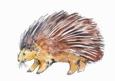 Watercolor drawing of porcupine or hedgehog. On white Stock Images