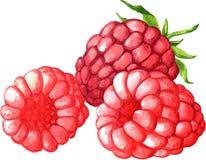 Watercolor drawing raspberries Stock Images