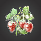 Watercolor drawing of strawberry. Strawberry against a dark back Stock Images