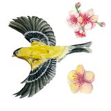 Watercolor drawing on the theme of spring, heat, illustration of a bird of the order of the passerine-looking Orioles flying, with. Open wings, feathers, with Stock Photography