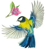 Watercolor drawing on the theme of spring, heat, illustration of a bird of the order of the passerine-shaped large tit-flies, with. Open wings, feathers, with Royalty Free Stock Images
