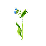 Watercolor drawing wild flower Stock Images