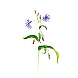 Watercolor drawing wild flower Stock Photo