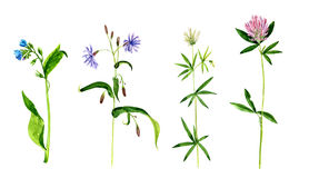 Watercolor drawing wild flowers Royalty Free Stock Photos