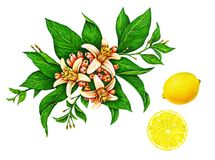 Watercolor drawings of beautiful yellow lemon fruit on a branch with green leaves and flowers isolated on white background royalty free illustration