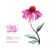 Watercolor Echinacea στο λευκό Στοκ Εικόνα