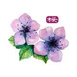 Watercolor elegant flower of japanese sakura Stock Photos
