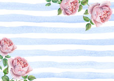 Watercolor english roses on blue striped background stock photos