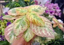 Watercolor Episcia in a human hand royalty free stock image
