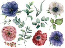 Watercolor eucalyptus, anemone and ranunculus floral set. Hand painted blue, red and white anemone, berry, eucalyptus. Leaves and branches isolated on white stock illustration