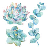Watercolor eucalyptus leaves and succulents. Royalty Free Stock Photos