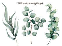 Watercolor eucalyptus realistic set. Hand painted baby, seeded and silver dollar eucalyptus branch isolated on white. Background. Floral illustration for design royalty free illustration