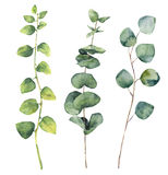 Watercolor eucalyptus round leaves and twig branches.