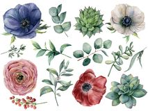 Watercolor eucalyptus, succulent and ranunculus floral set. Hand painted blue, red and white anemone, berry, eucalyptus Royalty Free Stock Photos