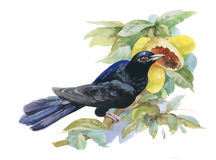 Watercolor exotic bird and tropical fruits illustration. Stock Image