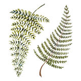 Watercolor fern leaves. Beautiful watercolor hand drawn fern leaves Stock Photos