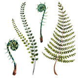 Watercolor fern leaves. Beautiful watercolor hand drawn fern leaves Stock Photo