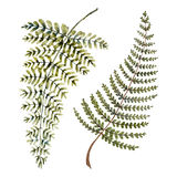 Watercolor fern leaves. Isolated beautiful watercolor hand drawn fern leaves Stock Image
