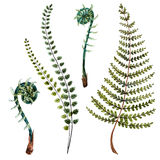 Watercolor fern leaves. Isolated beautiful watercolor hand drawn fern leaves Royalty Free Stock Photography