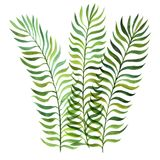 Watercolor fern leaves. Isolated at white background, hand drawn illustration Royalty Free Stock Photography