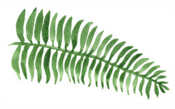 Watercolor Fern Painting. Watercolor painting of a green fern leaf. Isolated on white background Royalty Free Stock Photography