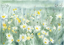Watercolor field of daisies. Watercolor painting background. Landscape with flowers: daisies and grass Stock Images