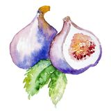 Watercolor Fig fruit isolated on a white background. Illustration of fruit figs Royalty Free Stock Images