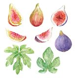 Watercolor fig set. Beautiful set with watercolor hand drawn figs Royalty Free Stock Images