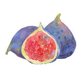 Watercolor figs and half Stock Image