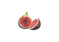 Watercolor figs, isolated on white background. Watercolor hand drawn figs, isolated on white background Stock Image
