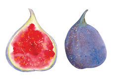 Watercolor figs Stock Image