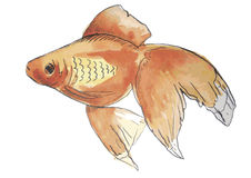 Watercolor fish. Aquarium fish watercolor on a white background Royalty Free Stock Photos