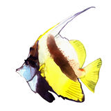 Watercolor fish. Sea fish illustration isolated on white background Royalty Free Stock Images