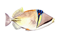 Watercolor fish. Sea fish illustration isolated on white background.  Royalty Free Stock Images