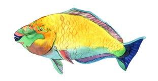 Watercolor fish. Sea fish illustration. Watercolor fish. Sea parrot fish illustration isolated on white background Stock Photos