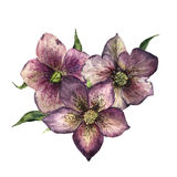 Watercolor floral bouquet with hellebore. Hand painted winter flowers and leaves isolated on white background. Botanical Royalty Free Stock Photography