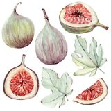 Watercolor floral and figs set. Floral decoration bohemian design Royalty Free Stock Image
