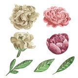 Watercolor floral illustration set. Traditional paint. Hand drawing. Watercolor rose and leaves. Floral. Vintage style. White background Royalty Free Stock Photo