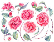 Watercolor floral set of camellia flowers Stock Image