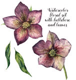 Watercolor floral set with hellebore and leaves. Hand painted winter flowers isolated on white background. Botanical Stock Photos