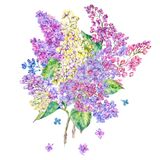 Watercolor floral spring card, blooming branch of lilac. Watercolor floral spring greeting card, blooming branch of lilac. Nature botanical illustration, natural Royalty Free Stock Image